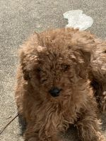 Irish Doodles Puppies for sale in Chesapeake, VA, USA. price: NA