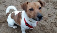 irish jack russell dog