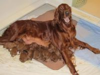 Irish Setter Puppies for sale in Naples, FL, USA. price: NA