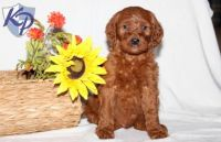 Irish Setter Puppies for sale in Pennsylvania, USA. price: NA