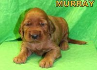 Irish Setter Puppies for sale in Evansville, IN, USA. price: NA