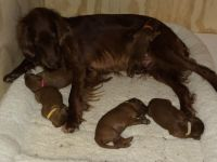 Irish Setter Puppies for sale in New Haven, VT, USA. price: NA