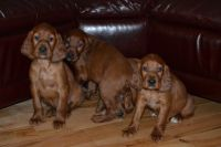 Irish Setter Puppies for sale in Phoenix, AZ, USA. price: NA