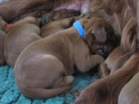 Irish Setter Puppies for sale in Los Angeles, CA, USA. price: NA