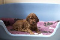 Irish Setter Puppies for sale in Indianapolis, IN, USA. price: NA