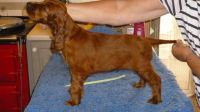 Irish Setter Puppies for sale in Carlsbad, CA, USA. price: NA