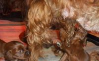 Irish Setter Puppies for sale in Austin, TX, USA. price: NA