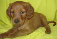 Irish Setter Puppies for sale in Alma Center, WI 54611, USA. price: NA