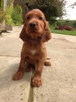 Irish Setter Puppies for sale in El Paso, TX, USA. price: NA