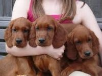 Irish Setter Puppies for sale in Brooklyn, NY, USA. price: NA