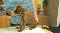 Irish Setter Puppies for sale in NJ-38, Cherry Hill, NJ 08002, USA. price: NA