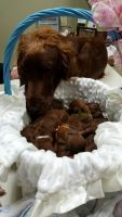 Irish Setter Puppies for sale in Greenville, TX, USA. price: NA