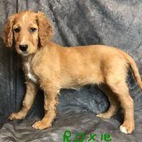 Irish Setter Puppies for sale in Canton, OH, USA. price: NA