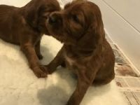 Irish Setter Puppies for sale in Pasadena, CA 91101, USA. price: NA
