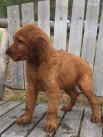 Irish Setter Puppies Photos