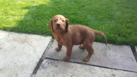 Irish Setter Puppies for sale in Chicago, IL, USA. price: NA
