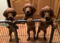 Irish Setter Puppies for sale in Indianapolis Blvd, Hammond, IN, USA. price: NA