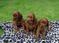 Irish Setter Puppies for sale in Clifton, NJ, USA. price: NA