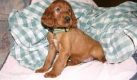 Irish Setter Puppies for sale in Houston, TX, USA. price: NA