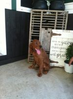 Irish Setter Puppies for sale in Ickesburg, PA 17037, USA. price: NA