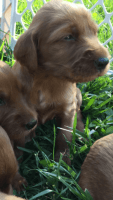 Irish Setter Puppies for sale in Huntertown, IN, USA. price: NA