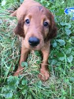 Irish Setter Puppies for sale in Buffalo, NY, USA. price: NA