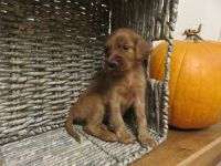 Irish Setter Puppies for sale in Lebanon, PA 17046, USA. price: NA