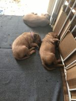 Irish Setter Puppies for sale in 2 Dinkle Ct, Edgewood, NM 87015, USA. price: NA