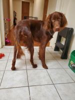 Irish Setter Puppies for sale in Newark, NJ, USA. price: NA