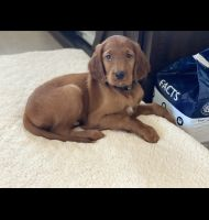 Irish Setter Puppies for sale in Highlands Ranch, CO, USA. price: NA