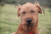 Irish Terrier Puppies Photos