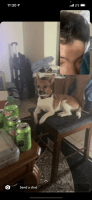 Jack Russell Terrier Puppies for sale in Cedar Rapids, IA, USA. price: NA