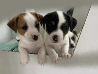 Jack Russell Terrier Puppies for sale in Haymarket, VA 20169, USA. price: NA