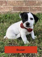 Jack Russell Terrier Puppies for sale in Pawnee, OK 74058, USA. price: NA