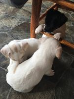 Jack Russell Terrier Puppies for sale in Irvine, KY 40336, USA. price: NA
