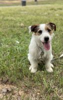 Jack Russell Terrier Puppies for sale in Mooreville, MS 38857, USA. price: NA