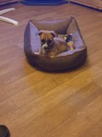 Jack Russell Terrier Puppies for sale in Borger, TX 79007, USA. price: NA