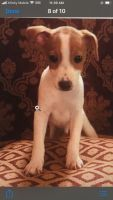 Jack Russell Terrier Puppies for sale in Calverton, MD 20705, USA. price: NA