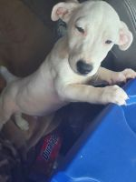 Jack Russell Terrier Puppies for sale in Newark, NJ, USA. price: NA