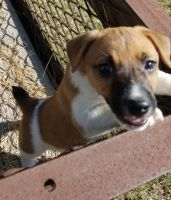 Jack Russell Terrier Puppies for sale in Bastrop County, TX, USA. price: NA