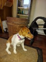 Jack Russell Terrier Puppies for sale in Mechanicsburg, PA, USA. price: NA