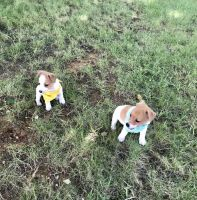 Jack Russell Terrier Puppies for sale in Houston, TX 77089, USA. price: NA