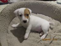 Jack Russell Terrier Puppies for sale in Walterboro, SC 29488, USA. price: NA