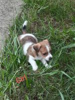Jack Russell Terrier Puppies for sale in Akron, OH, USA. price: NA