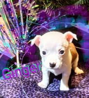 Jack Russell Terrier Puppies for sale in Knoxville, TN, USA. price: NA