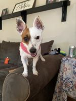 Jack Russell Terrier Puppies for sale in Harrison, OH 45030, USA. price: NA