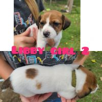 Jack Russell Terrier Puppies for sale in Bremen, OH 43107, USA. price: NA