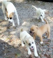 Jack Russell Terrier Puppies for sale in Hampton, GA 30228, USA. price: NA