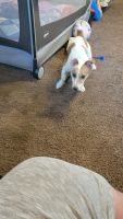 Jack Russell Terrier Puppies for sale in Pittsburgh, PA, USA. price: NA