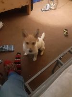 Jack Russell Terrier Puppies for sale in Fayetteville, NC, USA. price: NA